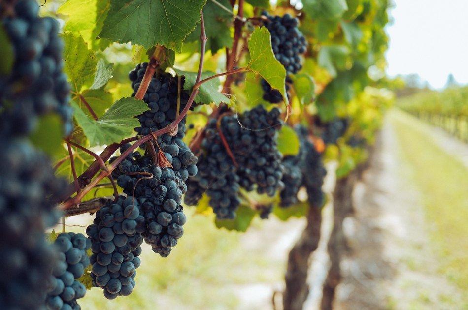 Sorte grožđa – Autohtone i najpopularnije svetske sorte